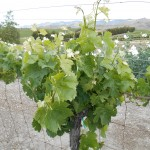 Chamisal Vineyards 1